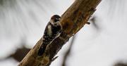 9th Dec 2017 - Woodpecker!