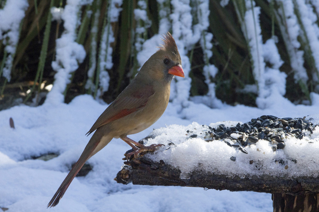 Mrs. Cardinal by gaylewood
