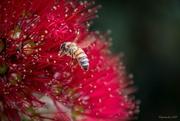 9th Dec 2017 - Christmas Tree Bee