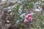 10th Dec 2017 - Snow roses