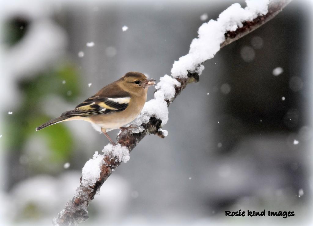 Snowy Chaffinch by rosiekind