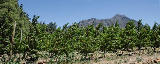 Saronsberg from the Orchard by salza