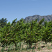 Saronsberg from the Orchard