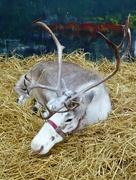 2nd Dec 2017 - Rudolph