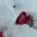 Roses in the snow,