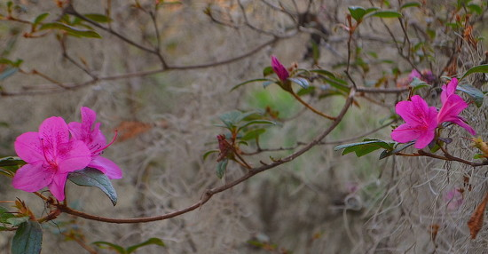 Azaleas in December by congaree