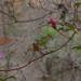 Azaleas in December