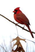 10th Dec 2017 - Well, Hello, Mr. Cardinal