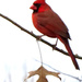 Well, Hello, Mr. Cardinal by milaniet