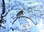 11th Dec 2017 - Robin