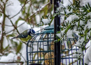 11th Dec 2017 - Bluetit