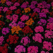 A blanket with Kalanchoe by elisasaeter