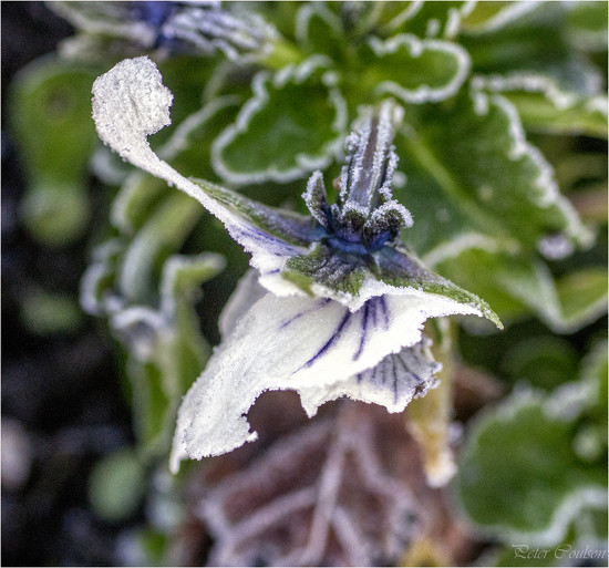 Frost on a Flower by pcoulson