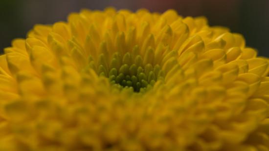 Chrysanthemum by rumpelstiltskin