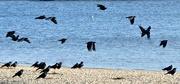 11th Dec 2017 - Fishing crows