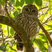 Todays Barred Owl Photo! by rickster549