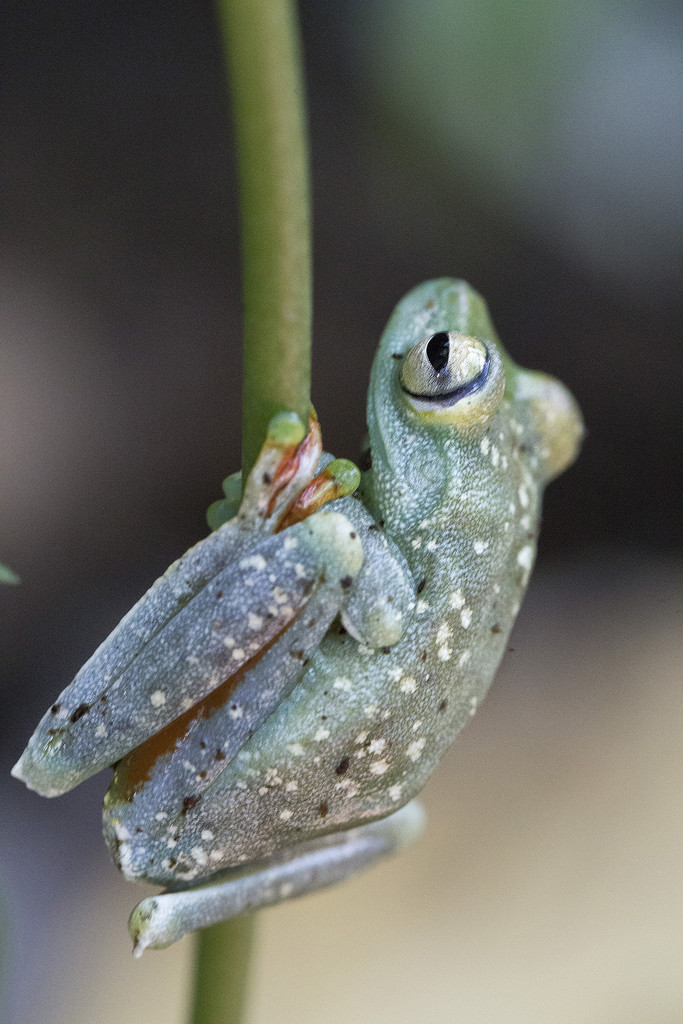 Glass Frog by pdulis