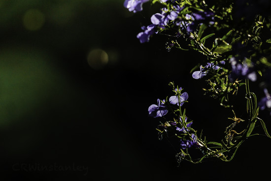Day 344 Lobelia by kipper1951