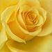 Filler Rose.