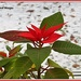 Poinsetta by rosiekind