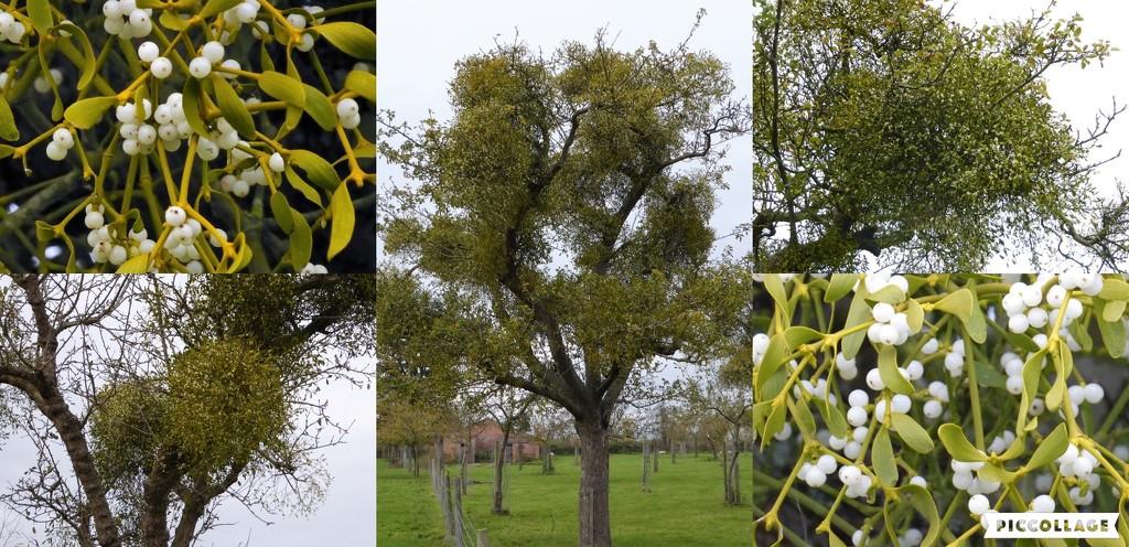 Mistletoe by susiemc