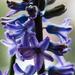 Hyacinthus