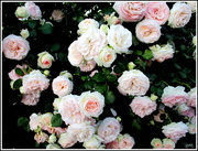 13th Dec 2017 - Renmark was celebrating a week of Roses(The best we saw on our 2 1/2 thousand kl. journey