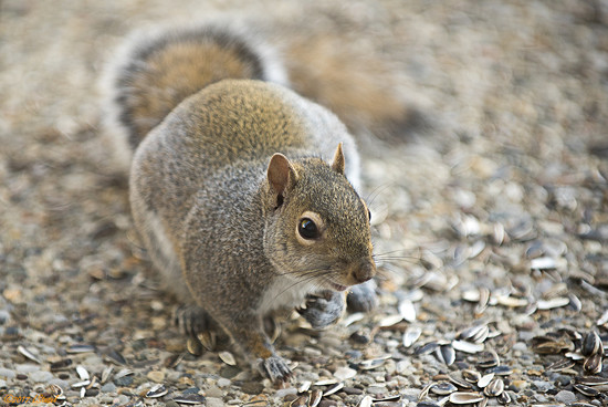 Winter Squirrel by lstasel