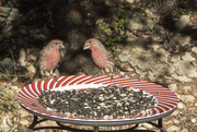 12th Dec 2017 - Male House Finches