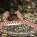 Male House Finches by gaylewood