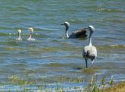 13th Dec 2017 - Blue Cranes and their chicks....