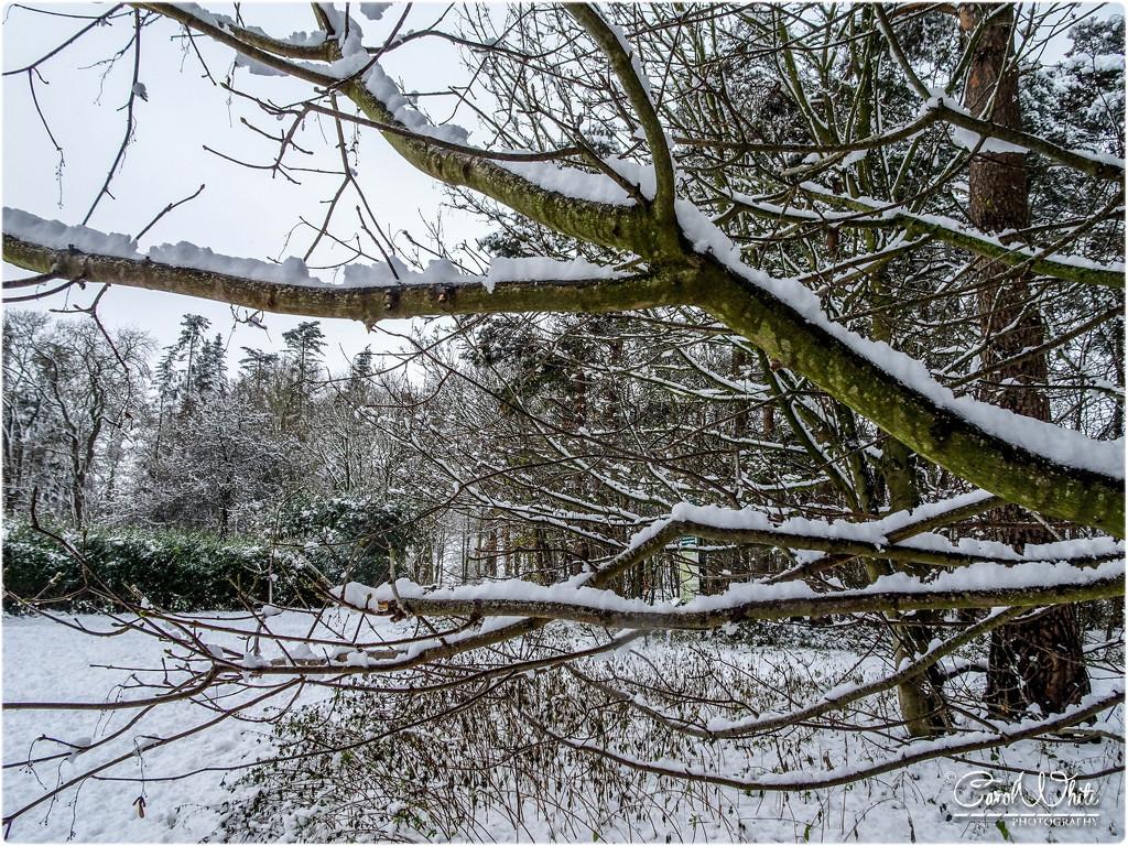 Snowy Branches by carolmw