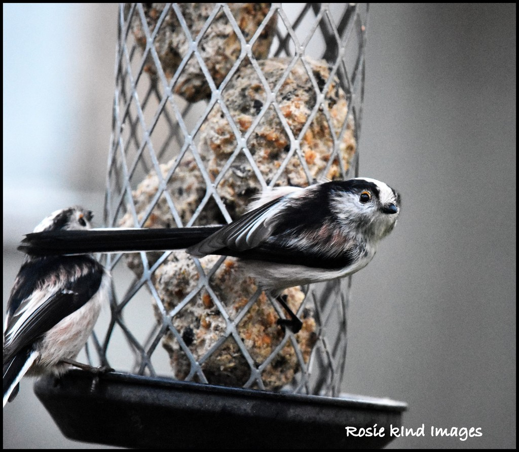 Long tailed tits by rosiekind