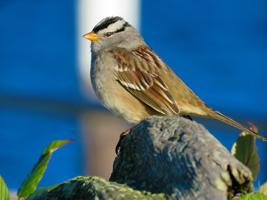 White-Crowned Sparrow by seattlite