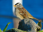 13th Dec 2017 - White-Crowned Sparrow