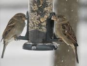 13th Dec 2017 - snow & sparrows