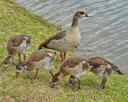 14th Dec 2017 - Proud Egyptian Goose mum watching.....