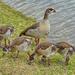 Proud Egyptian Goose mum watching.....