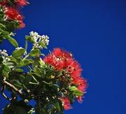 13th Dec 2017 - This Kiwi xmas tree comes with living decorations