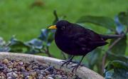 13th Dec 2017 - Filler Blackbird