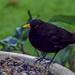 Filler Blackbird