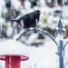 Blackbird looking for food by pamknowler