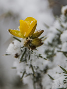 14th Dec 2017 - Of gorse its been snowing