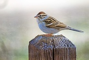 14th Dec 2017 - Chipping Sparrow