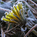 Frosted Dandelion by milaniet