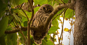 14th Dec 2017 - The Barred Owl Checking Me Out!
