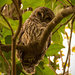 The Barred Owl Checking Me Out!