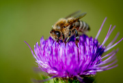 15th Dec 2017 - Bee on a thistle