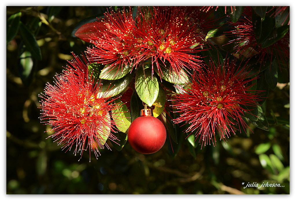 Christmas Bauble in the Pohutukawa.... Christmas Downunder.. by julzmaioro