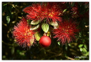 15th Dec 2017 - Christmas Bauble in the Pohutukawa.... Christmas Downunder..